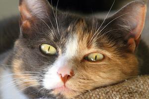 твердая шишка в ухе у кошки