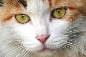 у кошки идет носом кровь
