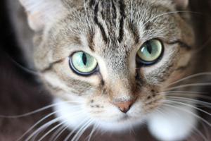 белые выделения из петли у кошки
