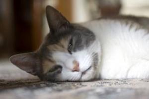дыхание со свистом у кошки во время сна