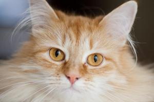 глаз налился кровью у кошки
