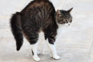 кошка горбит спину во время ходьбе