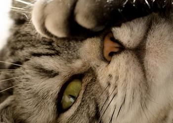 кошка трет глаза до крови