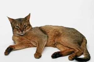 кошка заваливается на бок при ходьбе