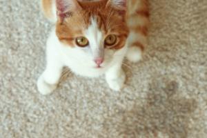 недержание мочи у кошки после стерилизации
