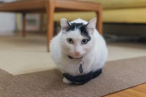 непроизвольное выделение кала у кошки