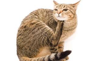 после капель от блох кошка сильно чешется