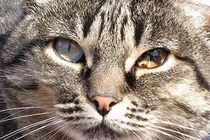 сильно гноится шов после стерилизации у кошки