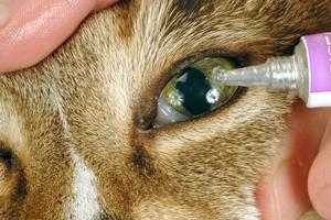 у кошки опухают глаза и гноятся