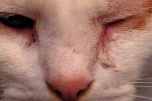 у кота воспалился глаз
