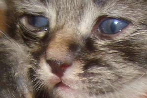 у котенка воспалился глаз