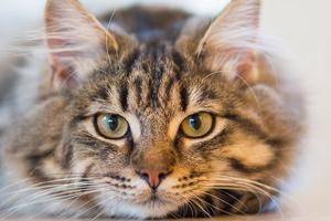 увеличение подчелюстных лимфоузлов кошки справа
