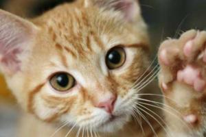 Как понять, из-за чего кошка чешет морду?