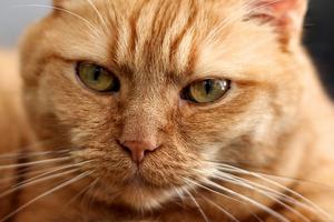 кошка чешет морду до крови