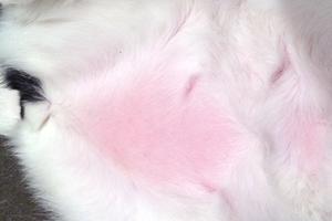 красный живот у кошки