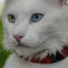Плюсы и минусы использования ошейника от блох для кошек