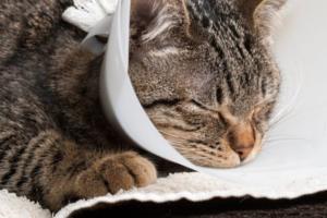 Из-за чего у кошки может нарывать щека?