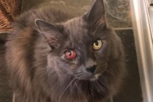 Что делают, когда у кошки покраснел глаз?