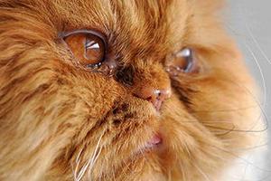у кошки покраснел глаз и сузился зрачек