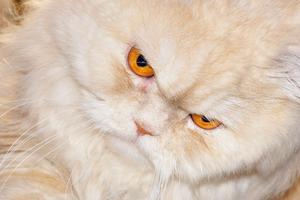 у кошки покраснел глаз после удара