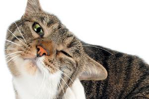 ушной клещ у кота