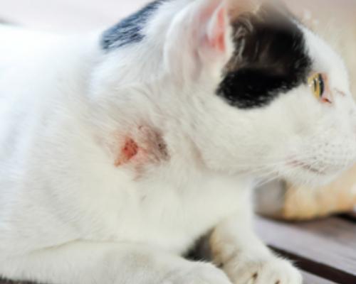 болячка на шее у кошки