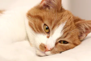 калицивироз у кота