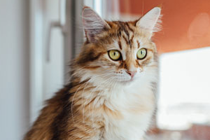 калицивироз у котенка