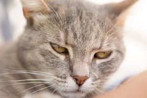 калицивироз у котика