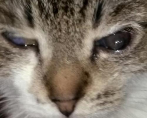 кератит у котенка