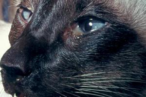 симптомы блефарита у кошки