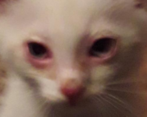 третье веко у котика
