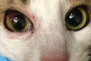 у кошки из глаза течет кровь
