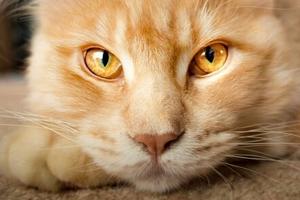 у кошки корочки над глазами