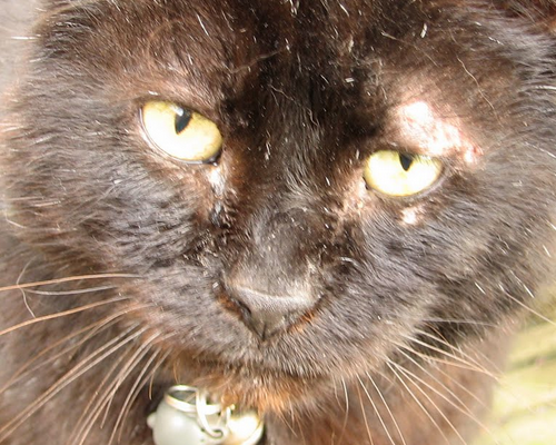 у кошки над глазиком залвсинка чешется