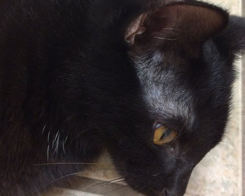 у кошки над глазом залысинка