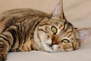 у кошки опухла петля после операции