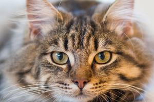 у кошки опухла петля после родов