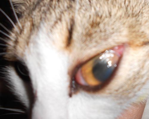 у кошки покраснело веко и слезится глаз