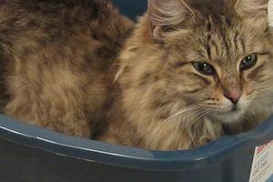 у кошки сильно воняет моча