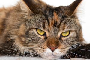 у старой кошки хрустят суставы