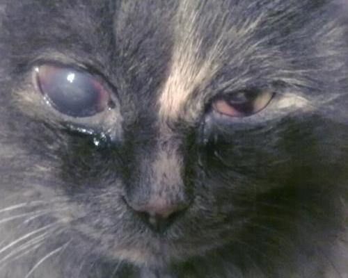 язвенный кератит у кошки