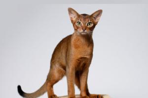 Чем примечательны абиссинские кошки?
