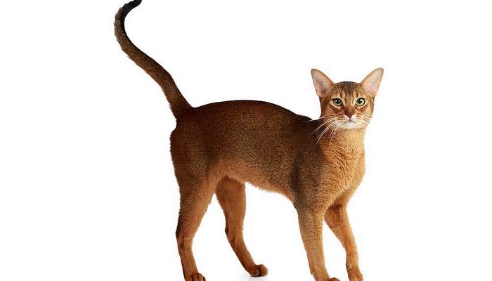 абиссинские кошки особенности породы