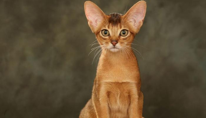 абиссинские кошки уход