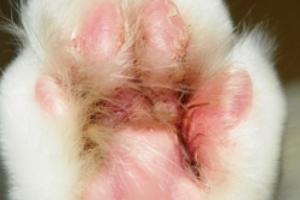 болячки на лапах у кошки