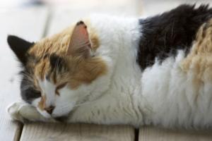 Причины и симптомы цистита у кошек
