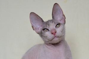 донский сфинкс котенок