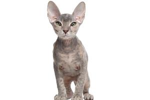 донский сфинкс котик