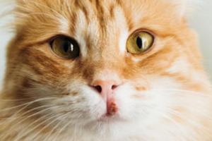 эозинофильная гранулема у кошки
